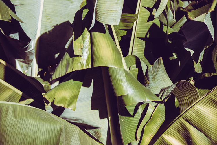 Backgrounds Banana Leaf Beauty In Nature Close-up Day Focus On Foreground Fragility Full Frame Green Color Growth Indoors  Leaf Leaves Nature No People Plant Plant Part Sunlight Vulnerability