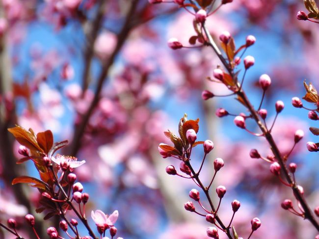 Flower Growth Branch Freshness Beauty In Nature Fragility Springtime Focus On Foreground Close-up Nature In Bloom Tree Petal Botany Blossom Cherry Blossom Pink Color Scenics Day Plant