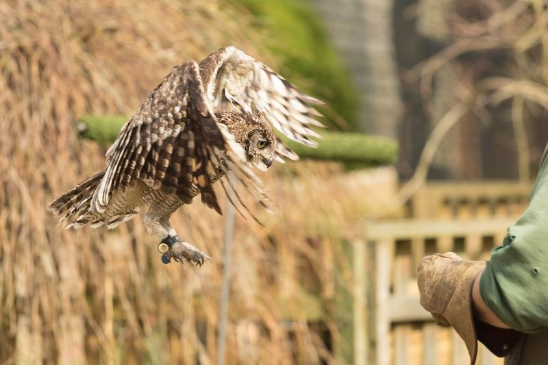 Owl landing on hand against straw