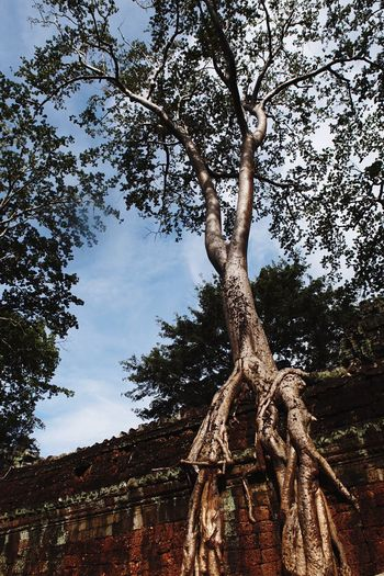 Tree Tree Trunk Low Angle View Nature Day Branch Sky Outdoors Beauty In Nature Ancient No People Dead Tree Cambodia Siemreap Ankor Thom Connected By Travel