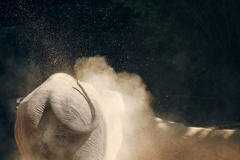 Wildlife & Nature Wildlife Zoo Elephant Water Motion One Person Nature Splashing Portrait Headshot Adult Refreshment Outdoors Close-up Dust Black Background EyeEmNewHere