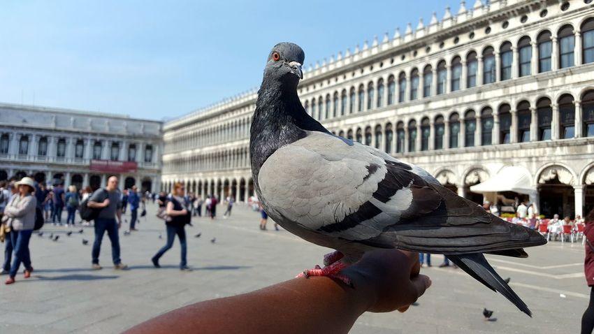 Pigeons Pigeonslife Loversparadise Venice, Italy