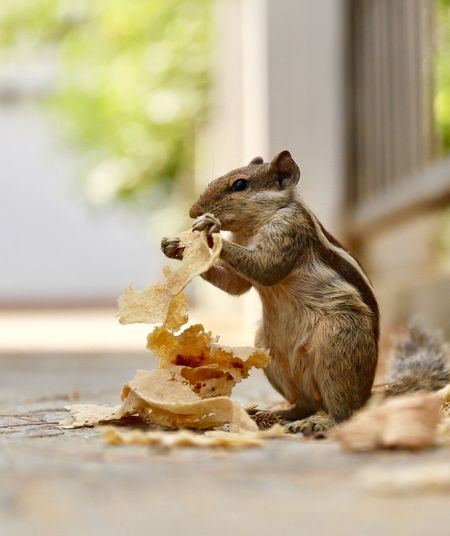 Squirrel Squirrel Animal Animal Themes Animal Wildlife Animals In The Wild One Animal Selective Focus Rodent Squirrel Focus On Foreground Mammal Close-up No People Food And Drink Holding Vertebrate Food Outdoors Nature Eating Day