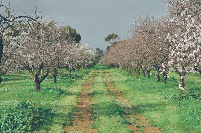 Almond Blossom Drive Beauty In Nature Day Diminishing Perspective Field Flower Footpath Grass Green Color Growth Landscape Narrow Nature No People Outdoors Pathway Plant Rural Scene Scenics Sky The Way Forward Tranquil Scene Tranquility Tree Treelined Vanishing Point