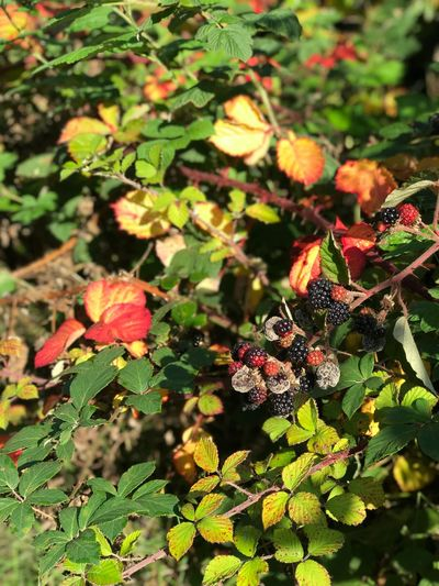 Blackberry Plant Part Leaf Growth Plant Nature Fruit Freshness Outdoors Food And Drink Food Berry Fruit Beauty In Nature Healthy Eating
