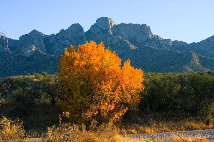 Fall color, nature, golden cottonwood, mountains in background, blue sky