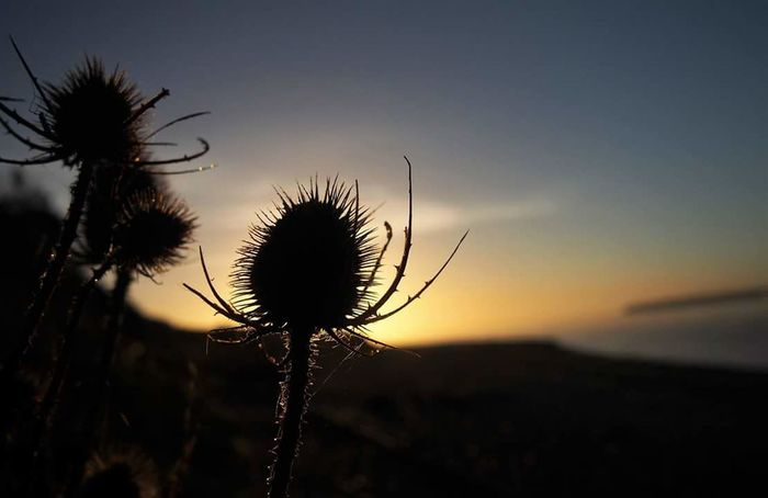 Nature Sunset Silhouette Growth Beauty In Nature Sky Dusk Plant Flower Tranquility Outdoors Fragility Close-up No People Thistle Night Freshness Flower Head Around Me Nearby Near The Sea HTC_photography Early Morning Earlybirdlove HtcPhoneOgraphy