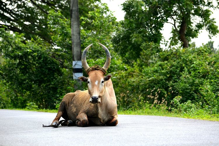 Bull Relaxing On Road Against Trees