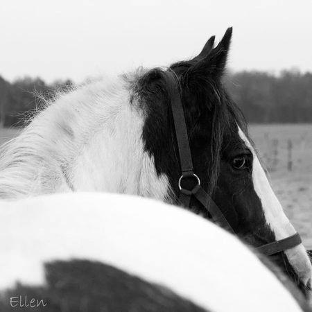 Jolynn Paard Horse Animal Lovely Tinker Black And White Swaanfotografie