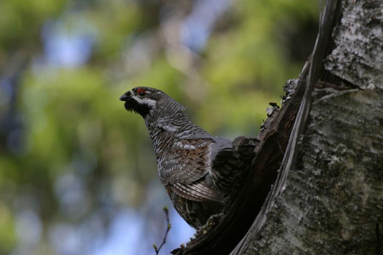 Animal Themes Animal Wildlife Animals In The Wild Bird Bonasa Bonasia Hazel Grouse Nature Tree