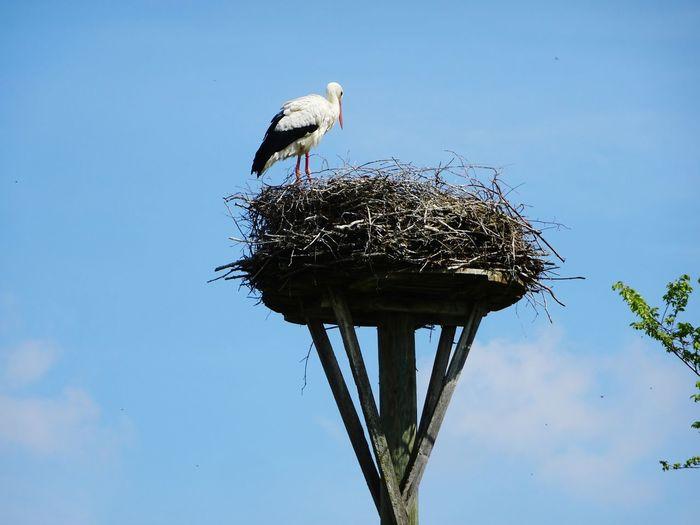 Stork Nest EyeEm Best Shots EyeEmAnimalLover EyeEmBestPics Bird Perching Blue Stork Animal Themes Sky Animal Nest White Stork Young Bird Nest Bird Nest Stay Out