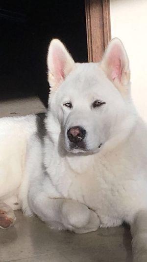 Dog Pets No People Domestic Animals Huskita Close-up First Eyeem Photo