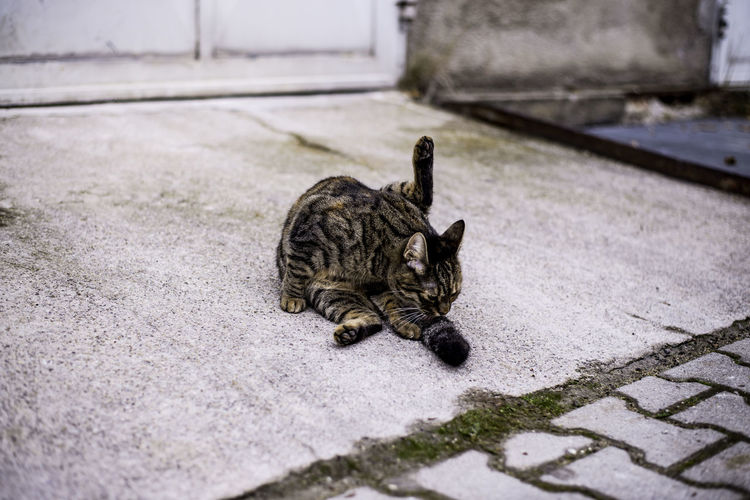 Cat licking its limb while lying on footpath
