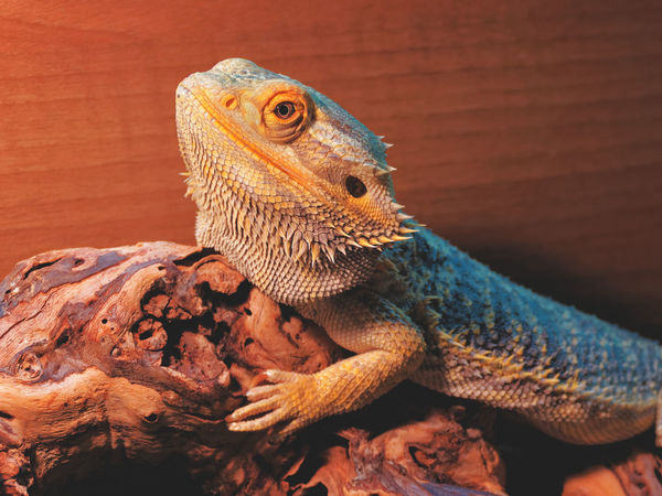 Clifford Animal Scale Animal Themes Animal Wildlife Animals In The Wild Bearded Dragon Close-up Day Lizard Nature No People One Animal Outdoors Reptile