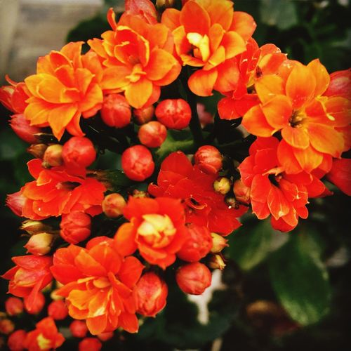 Spring Blooms Flower Nature Orange Color Blooming Flower Head No People Plant Beauty In Nature Outdoors Close-up Growth Plants Are Friends EyeEmNewHere The Great Outdoors - 2017 EyeEm Awards