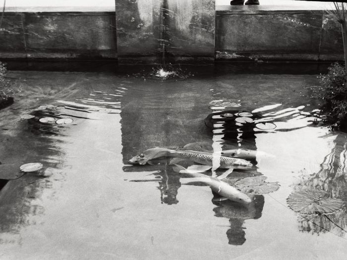 Koi and boy Ricoh Film Rangefinder Fuji35mmfilm Street Water In A Row Outdoors No People Full Frame Eyemphotography Building Exterior Taking Photos Filmcamera Low Angle View 1950srangefinder Ricoh500 Filmrangefinder Communication Day Blackandwhite