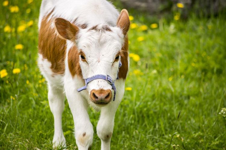 Cow walking on