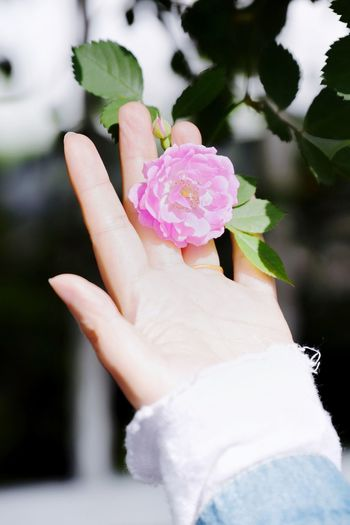 EyeEm Selects Flowering Plant Flower Plant Human Hand Hand Freshness Pink Color Beauty In Nature One Person Human Body Part Close-up Holding Petal Focus On Foreground Day Vulnerability  Fragility Rosé Nature Finger