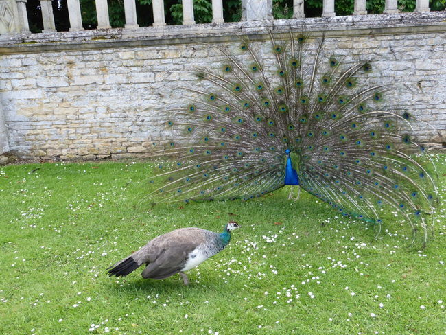 Bird Courtship Display Fancy Feather  Peacock Peahen Wildlife