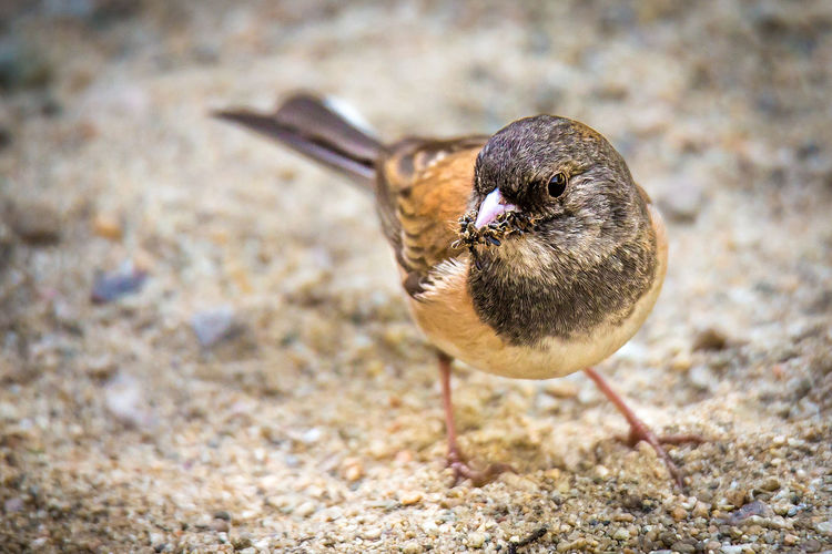 A Dark Eyed Junco with His Mouth Full of Insects #1 Early Bird Eating Morning Animal Animal Themes Animal Wildlife Beach Beak Bird Bugs Close-up Dark Eyed Junco Day Focus On Foreground Full Length Insects  Land Mouthfull Nature No People One Animal Outdoors Sand Sparrow Zoology