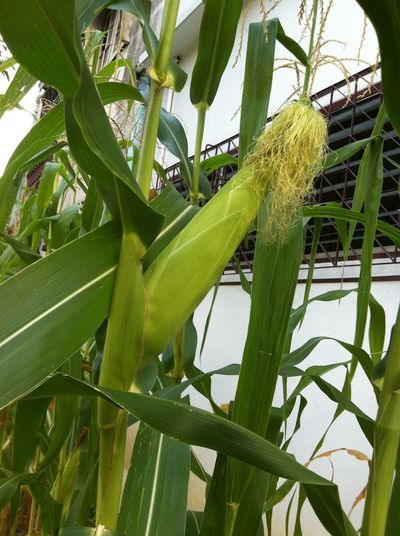another corns grow in the city following the Sufficiency Economy Philosophy of the late King Bhumibol Adulyadej. Plant Life Beauty In Nature Close-up Corn Corn Leafs Day Freshness Green Color Growth Leaf Nature No People Outdoors Plant Plant Themes Sweet Corn