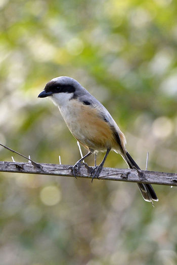 Bird Photography Animal Animal Themes Animal Wildlife Animals In The Wild Bird Branch Close-up Day Focus On Foreground Full Length Long Tail Nature No People One Animal Outdoors Perching Plant Selective Focus Tree Twig Vertebrate