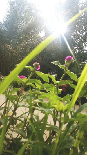 Shining 2 Nature Lens Flare Growth Plant Day Beauty In Nature Sunlight Leaf No People Low Angle View Close-up Green Color Outdoors Freshness Fragility Water Grass Flower Low Angle View Kerala Nokia Photography Agriculture Tranquility Playing Field The Street Photographer - 2017 EyeEm Awards Visual Feast Neighborhood Map The Great Outdoors - 2017 EyeEm Awards EyeEmNewHere Out Of The Box