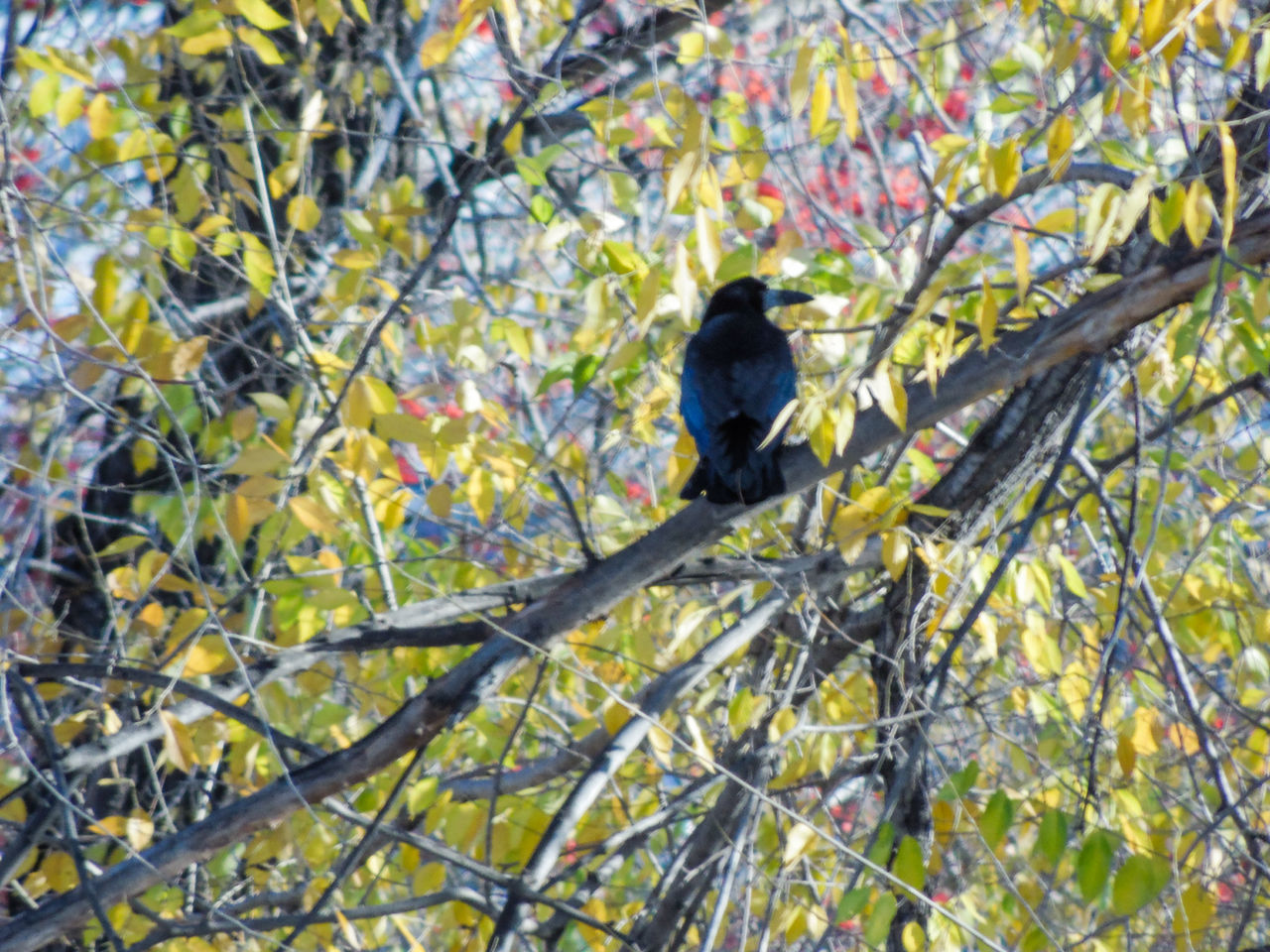 bird, branch, animal wildlife, one animal, animals in the wild, perching, tree, animal themes, nature, raven - bird, low angle view, no people, day, outdoors, blackbird, beauty in nature, full length, plant part, hornbill