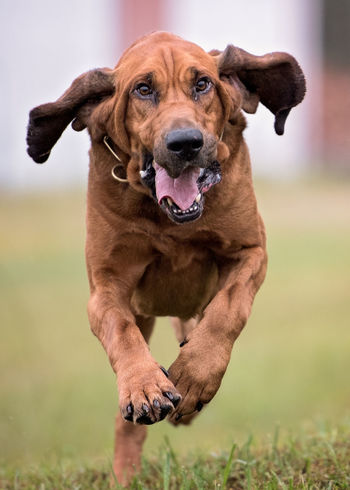 Bloodhound dog running straight at camera Floppy Ears Running Bloodhound Canine Companion Dog Dog Domestic Animals Purebred Dog