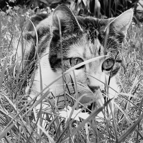 Cat in gras black white