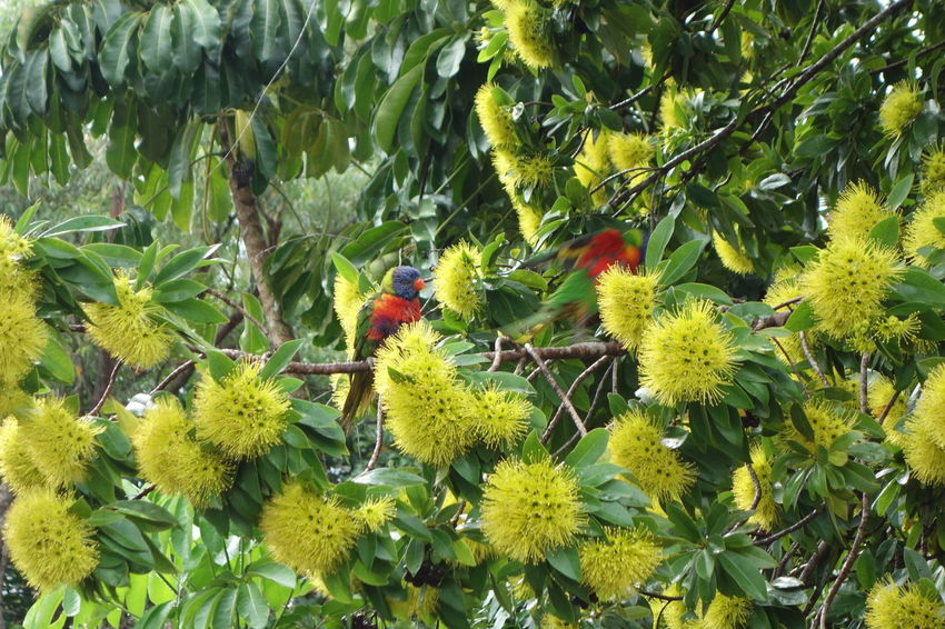 Rainbow lorikeet, Allfarblori, Trichoglossus moluccanus in Xanthostemon chrysanthus, Golden Penda tree in Queensland, Australia Australia Colors Colourful Myrtaceae Rainbow Colors Rainbow Lori Trichoglossus Moluccanus Xanthostemon Chrysanthus Yellow Flower Allfarblori Animal Animal Themes Animal Wildlife Animals In The Wild Beauty In Nature Bird Blooms Branch Colorful Colours Of Nature Day Focus On Foreground Fruit Golden Penda Green Color Growth Leaf Nature No People Outdoors Plant Plant Part Queensland Rainbow Rainbow Lorikeet Rainbow Lorikeets Showy Tree Yellow