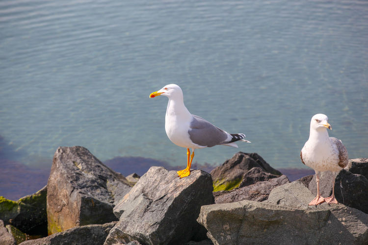 Close-Up Of Seagull On Beach Bird Animals In The Wild Animal Wildlife Vertebrate Animal Themes Animal Perching Water Rock Solid Rock - Object Seagull Group Of Animals Sea Nature No People Day Two Animals Sea Bird Outdoors