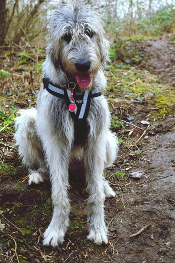 Pets Dog Animal Themes Domestic Animals One Animal Full Length Sitting Outdoors Deep In The Woods Forest Tree_collection  TreePorn March 2017 Winter 2017 Bokeh Cearnaigh Irish Wolfhound Portrait Dogslife Dog Of The Day Dogs Of Winter Animal Head  Silhouette