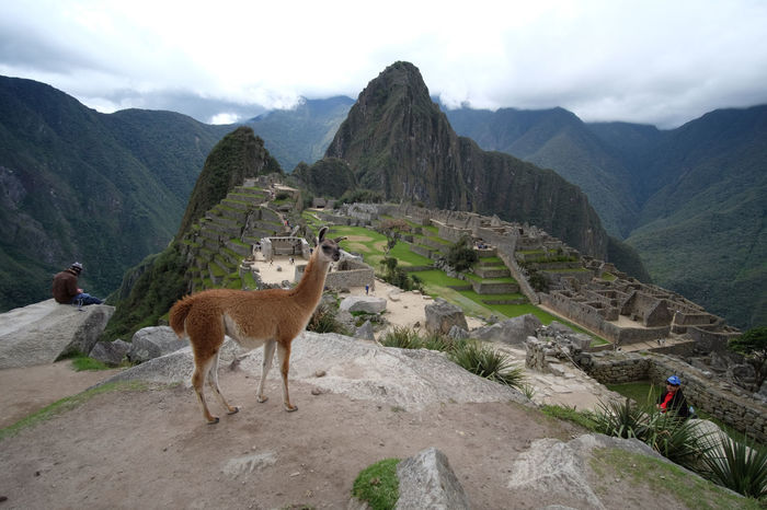 Machu Picchu. Animal Llama Machu Picchu Mountain Mountain Range South America Tourism Travel Travel Destinations