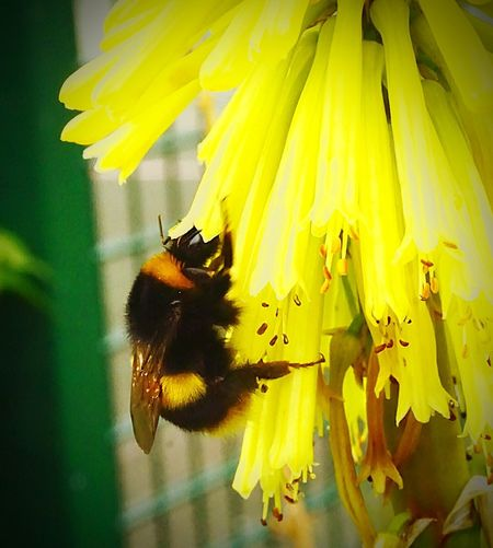 BUSY BEE IF YOU ASK ME Bigassbee Blackandyellow Blackandyellow Sonya6000 DRSIMAGES Flower Yellow Insect Eye4photography  LONDON❤ Stratford Bee 🐝 SonyPix