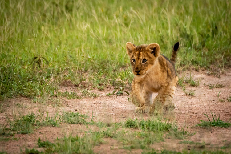 Close-up of lion cub walking on field