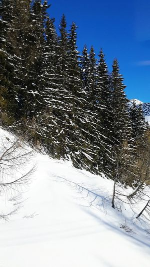 Snow Winter Pine Tree Cold Temperature Tree Clear Sky No People Landscape Beauty In Nature Coniferous Tree Mountain Day Mountain Landscape Bernina Glacier Winter No People, Travel Bernina Express Sky Mountain Life No People, Indoors