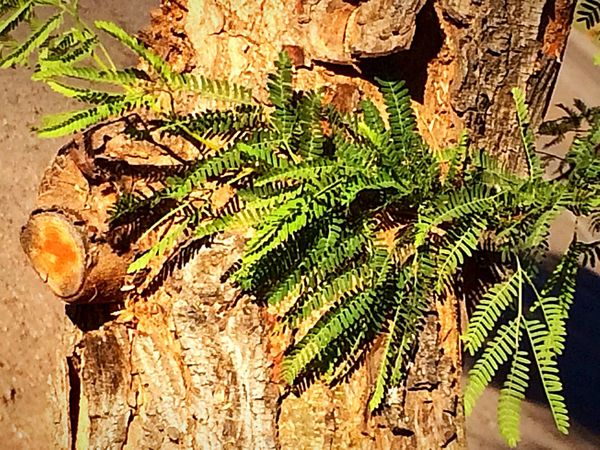 Natural beauty in nature, Loving the nature Walk ✨ Me Alone New Growth From Tree Stump Enjoying Nature Fun With IPhone IPhone Photography Plant Green Color Nature Sunlight Growth No People Leaf Tree Tree Trunk Beauty In Nature Outdoors Close-up Freshness