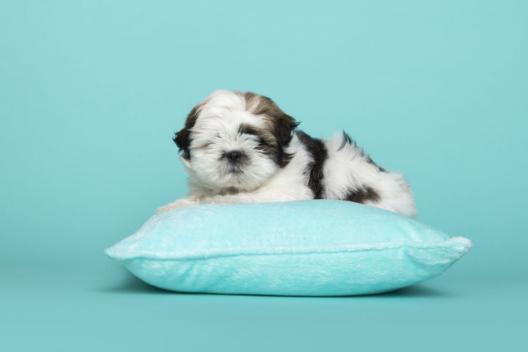 Close-up of puppy sleeping against blue background