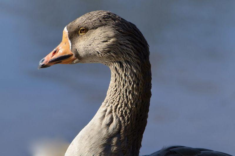 Porttrait of a Goose Animal Neck Animal Themes Beak Close-up Goose Nature No People One Animal Porttrait Side View