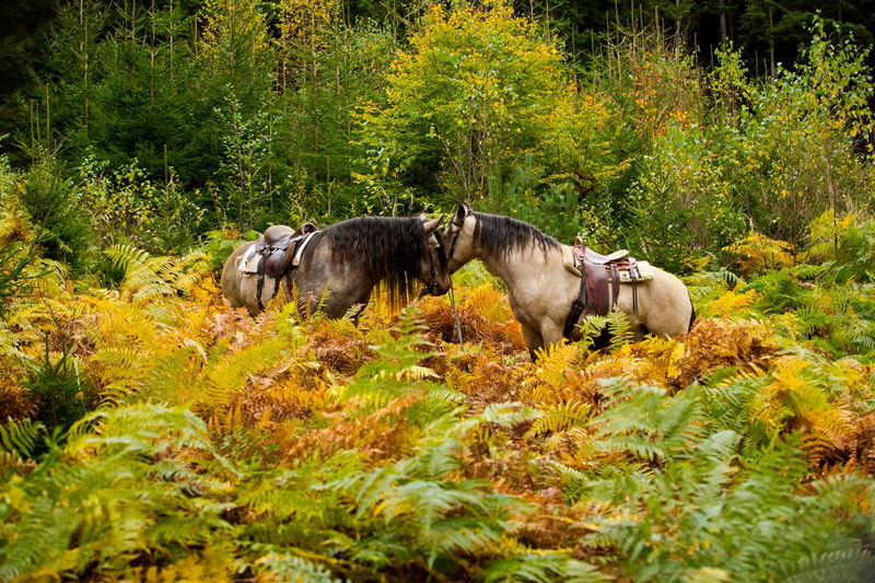Autumn colors Fern Growth Horses Saddle Two Horses Animal Animal Themes Autumn Buckskin Day Domestic Animals Fall Fern Ferns Horse Kissing Mangalarga Mangalarga_marchador Mangalargamachador Mangalargamarchador Nature No People Outdoors Plant Saddled The Great Outdoors - 2018 EyeEm Awards The Traveler - 2018 EyeEm Awards Summer Road Tripping
