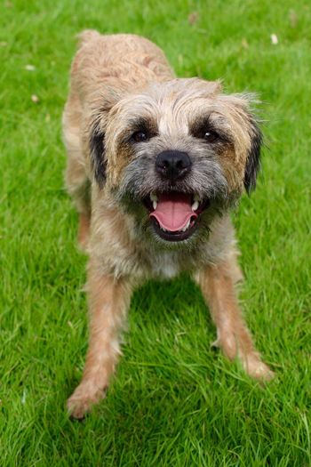 Border terrier Border Stories Border Terrier Borderterrier Dog Dogs Dog Love Dog❤ Dogslife Dogs Of EyeEm Dogstagram Check This Out My Dog Play Playtime Portrait Dog Portrait Dog Posing Dog Photography Dogography Smiles Big Tongue