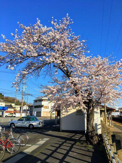 Cherry blossom tree by building against sky