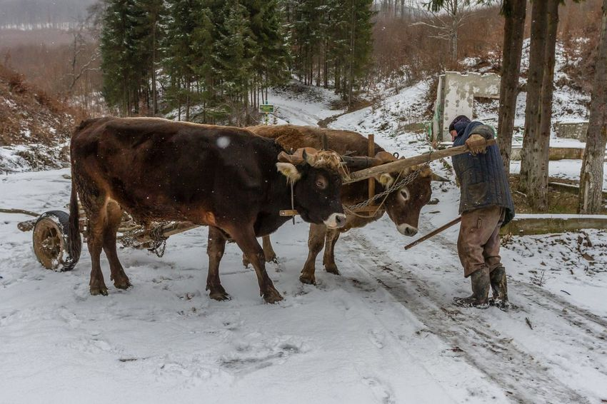 Carpathian Mountains Maramures Romania Teamwork Winter Animal Themes Cattle Cold Temperature Cold Temperture Day Domestic Animals Farmer Forest Livestock Maramures Roumanie Nature One Person Only Men Outdoors Oxen Oxen On The Road Snow Warm Clothing Winter Working