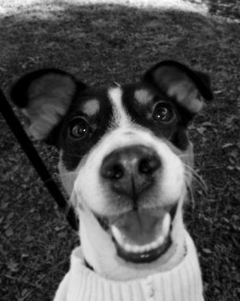 Jackrussell Jackrussellterrier Dogslife Dogs Of EyeEm Dogstagram Dogoftheday Dog Portrait Dog Photography Dogmodel IVI Puppy Jack Russell Jackrusselllove Jackrussellofday