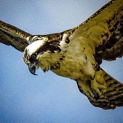 One Animal Bird Of Prey Bird Osprey In Flight