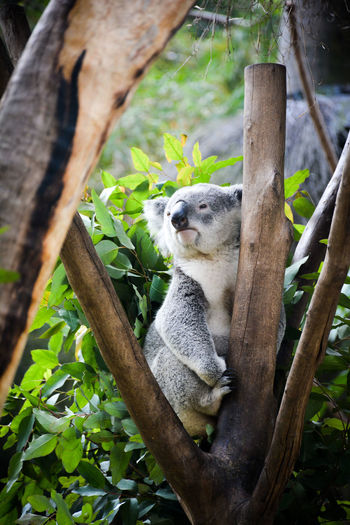 Koala relaxing on wood