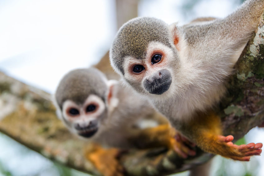 View of two squirrel monkeys looking at the camera with on in focus and one out of focus in the Amazon rainforest in Colombia Amazon Amazonas Animal Animals Baby Brazil Colombia Common Cute Forest Jungle Leticia Little Mammal Monkey Monkeys Nature Peru Primate Rainforest Saïmiri South America Squirrel Squirrel Monkey Wildlife