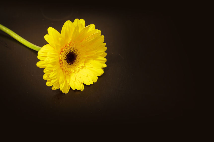 Bright yellow happy gerbera daisy flower Gerbera jamesonii on a black background Beauty In Nature Bloom Blossom Close-up Daisy Flower Flower Head Fragility Freshness Gerbera Gerbera Jamesonii Growth Nature No People Petal Pollen Single Flower Yellow