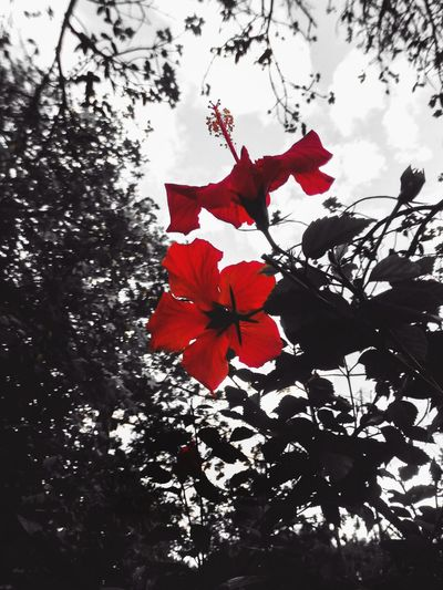 Red Flower Flower Head Plants Blackandwhite Red Flower Ibiscus Experimental Beauty In Nature Tree Branch Fine Art Colors Silhouette Growth Maple Leaf Nature No People Close-up Day Outdoors